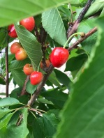 I can't wait to eat our cherries...soon!